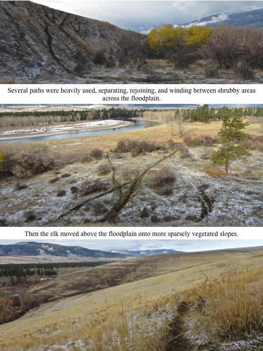 Several paths were heavily used, separating, rejoining, and winding between shrubby areas across the floodplain.Then the elk moved above the floodplain onto more sparsely vegetated slopes.
