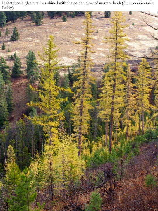 In October, high elevations shined with the golden glow of western larch (Larix occidentalis, Baldy).