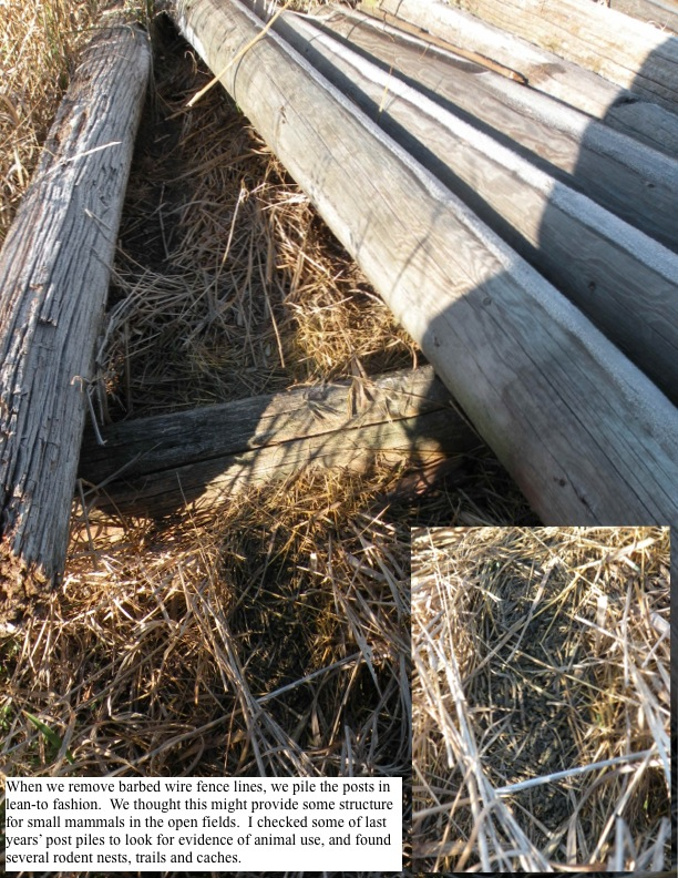 When we remove barbed wire fence lines, we pile the posts in lean-to fashion. We thought this might provide some structure for small mammals in the open fields. I checked some of last years' post piles to look for evidence of animal use, and found several rodent nests, trails and caches.