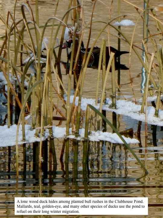 A lone wood duck hides among planted bull rushes in the Clubhouse Pond. Mallards, teals, golden eyes, and many other species of ducks use the pond to refuel on their long winter migration.