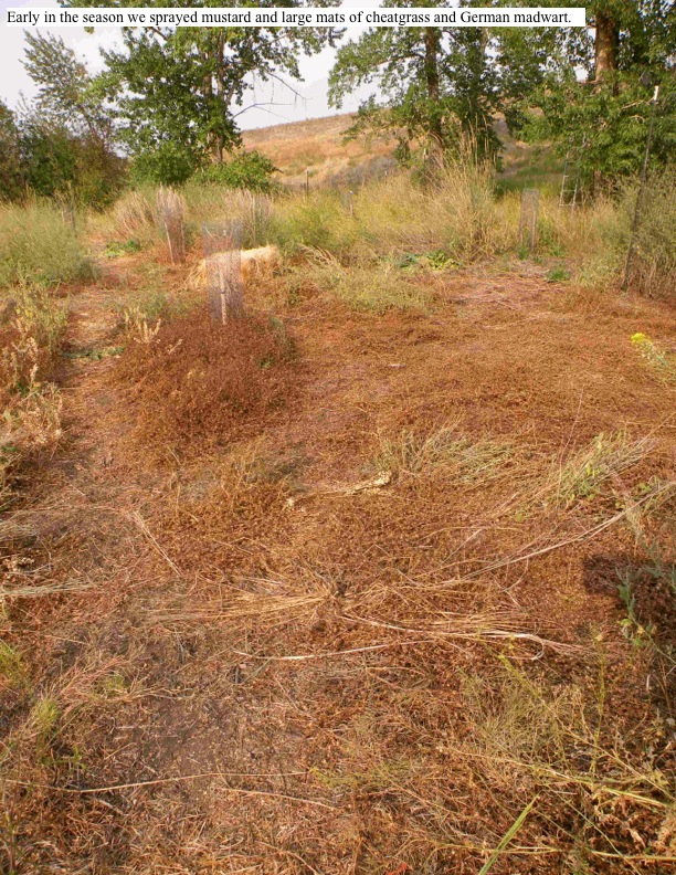 Early in the season we sprayed mustard and large mats of cheatgrass and German madwart.