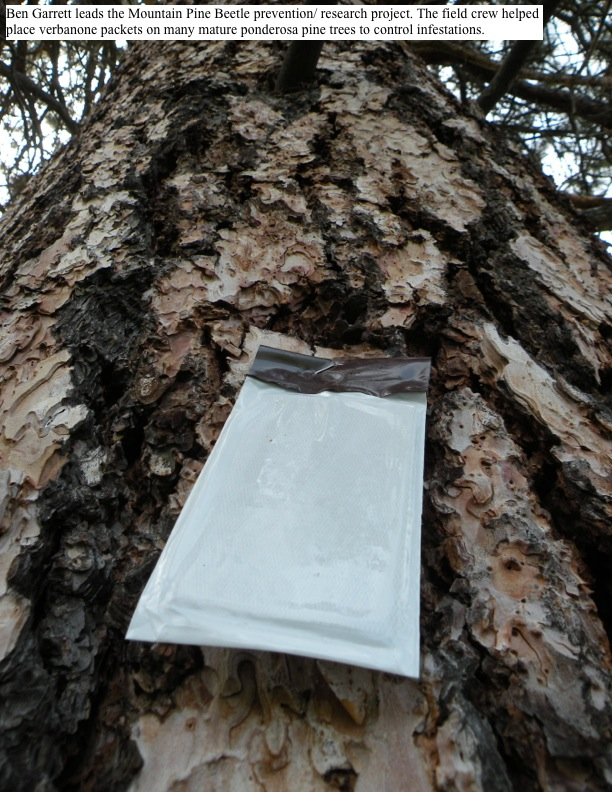 Ben Garrett leads the Mountain Pine Beetle prevention/ research project. The field crew helped place verbanone packets on many mature ponderosa pine trees to control infestations.