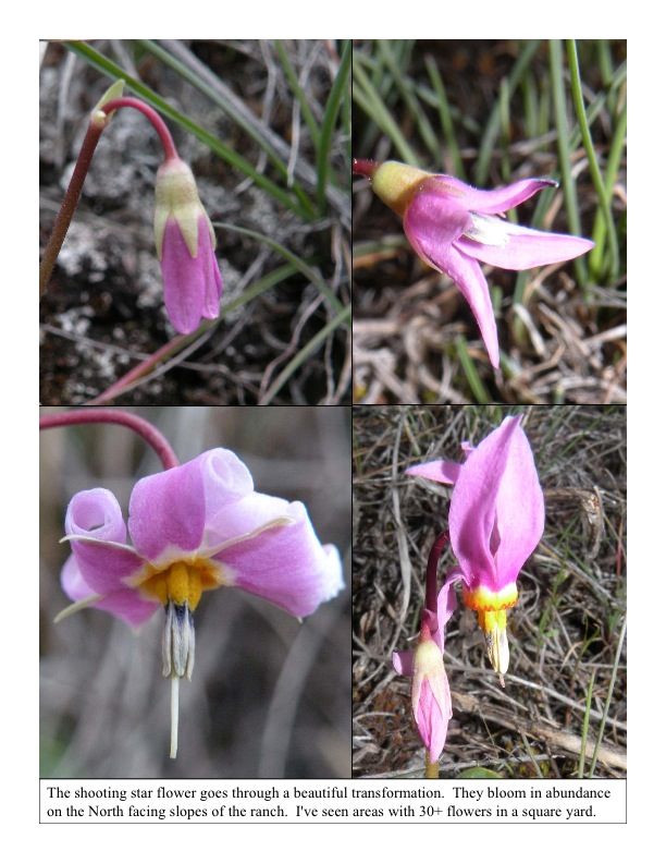Blooming shooting stars, Dodecatheon conjugens