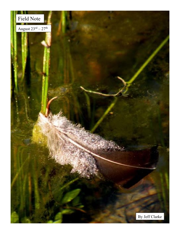 A feather floats in a floodplain slough