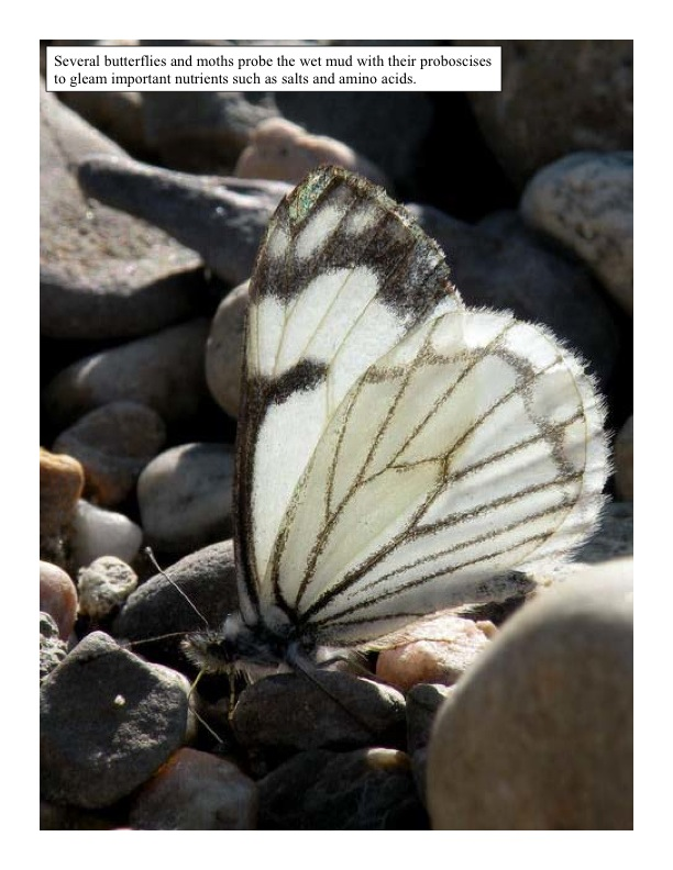 A nutrient hungry butterfly searches through the mud