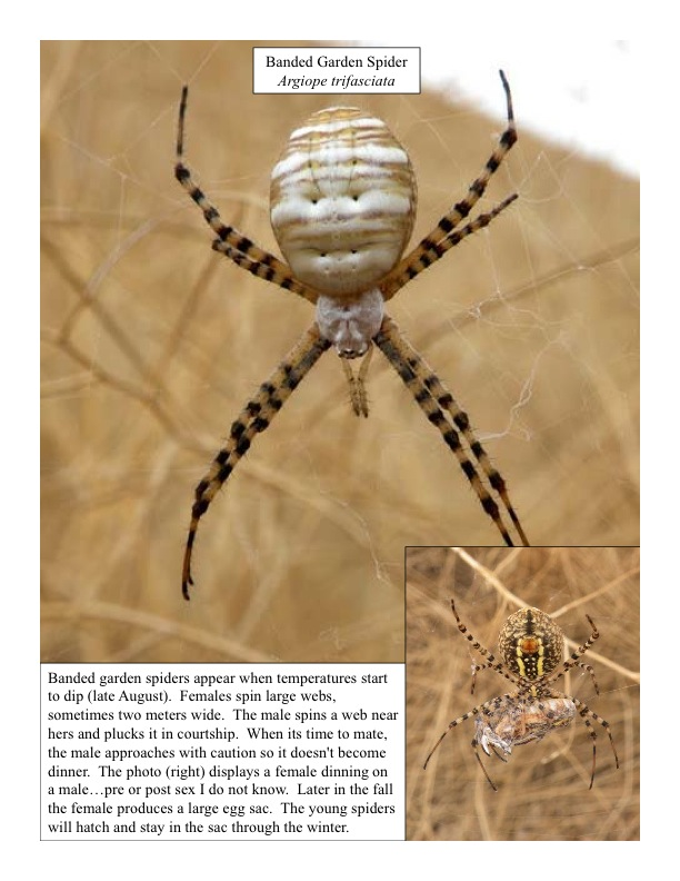 Banded garden spider, or St. Anthony's Cross spider
