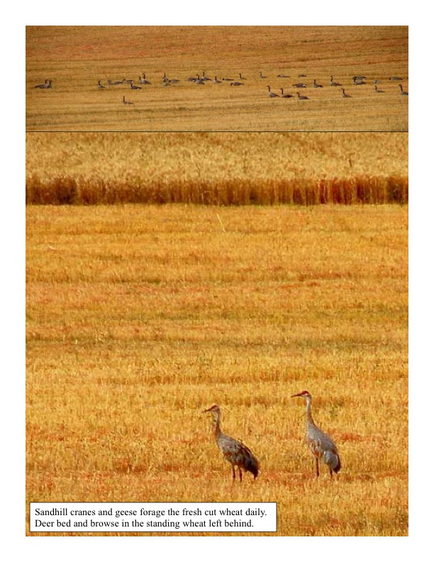 Sandhill Cranes and Geese in the wheat field