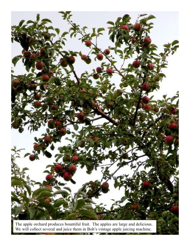 Ripe apples in the orchard