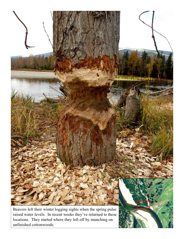Beaver work on a cottonwood
