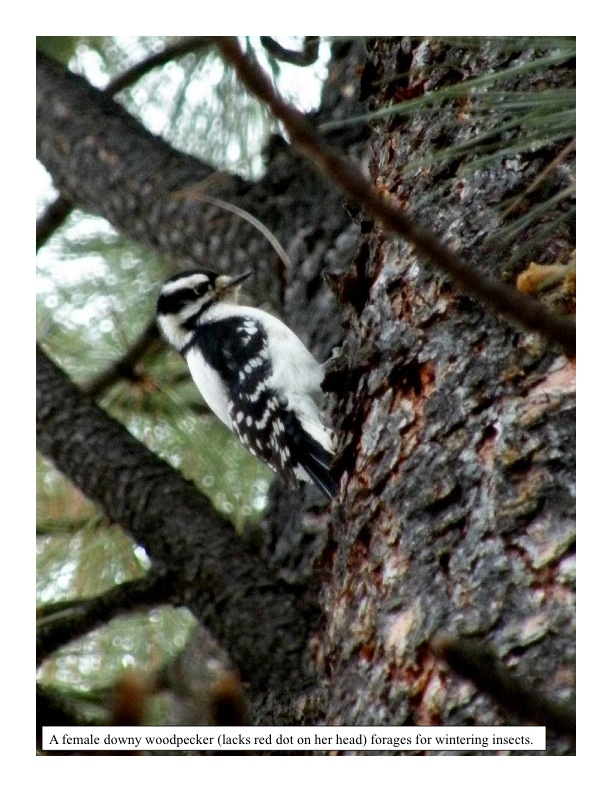 Foraging Downy Woodpeckers