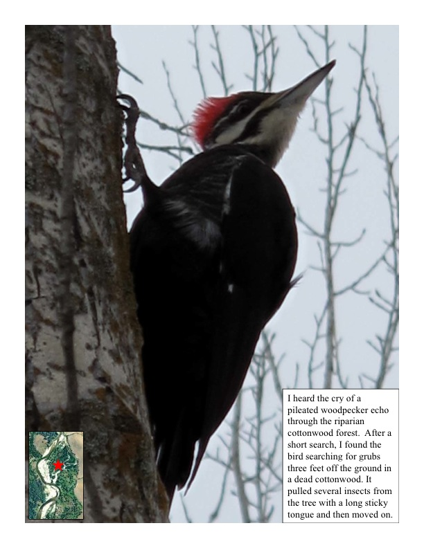 A Pileated Woodpecker feeds on insects