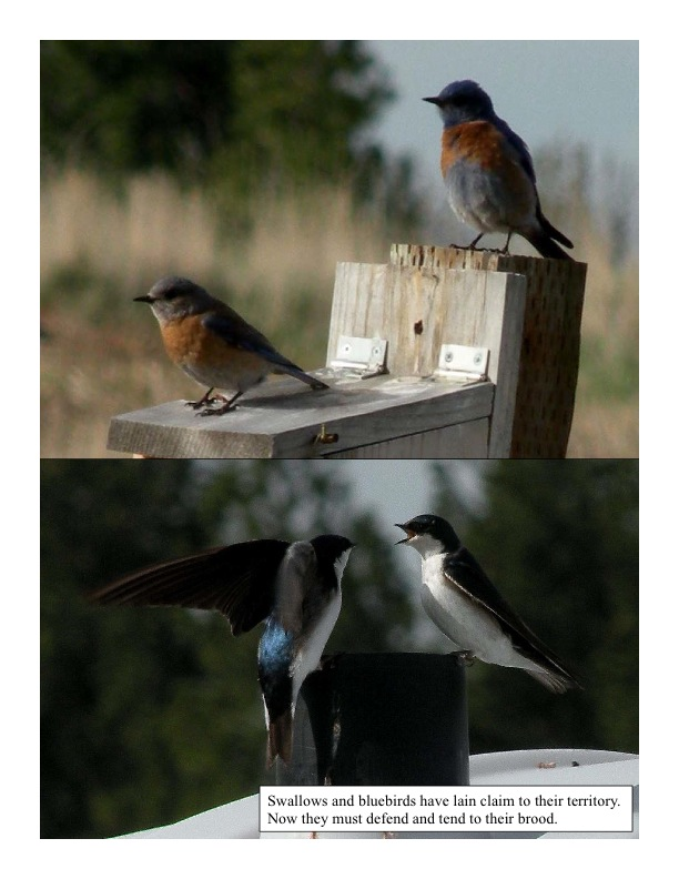 Western bluebirds and swallows using nesting boxes