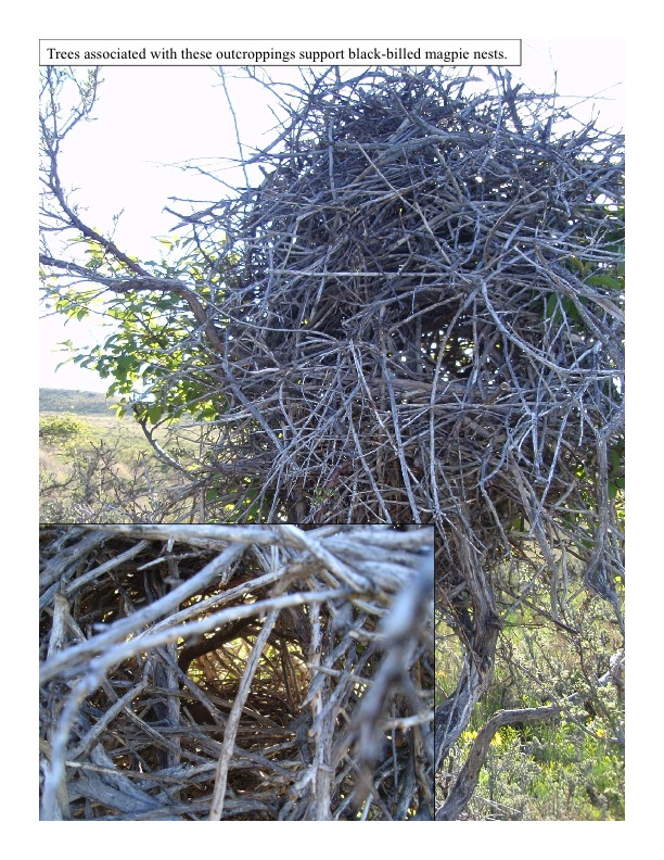 Black-billed magpie nest
