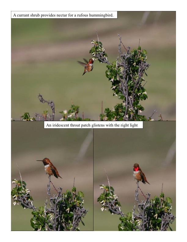 a rufous hummingbird feeds from a currant bush