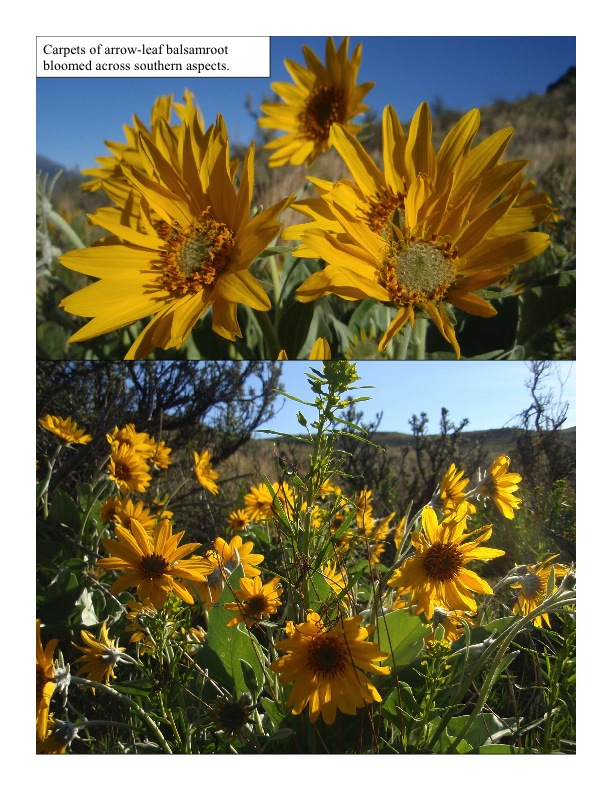 blooming arrowleaf balsamroot