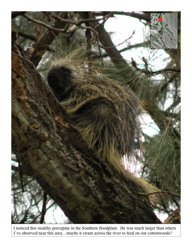 porcupine in the floodplain