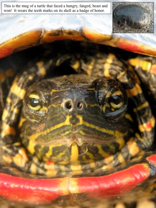 a painted turtle shows the battle scars of an attempted attack