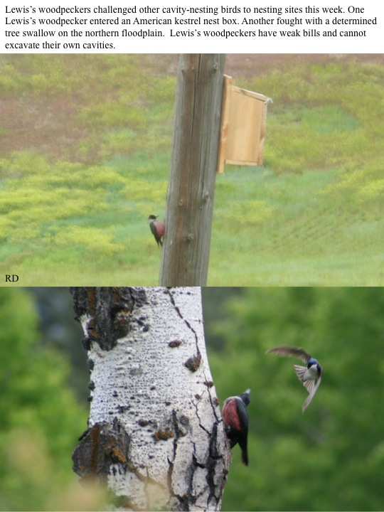 Lewis' Woodpeckers fight for nesting spaces