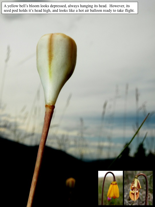 Yellow bell seed head