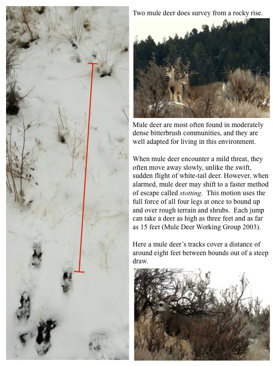 Here a mule deer's tracks cover a distance of around eight feet between bounds out of a steep draw.