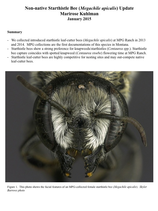 Non-native Starthistle Bee (Megachile apicalis) Update Marirose Kuhlman January 2015 Summary