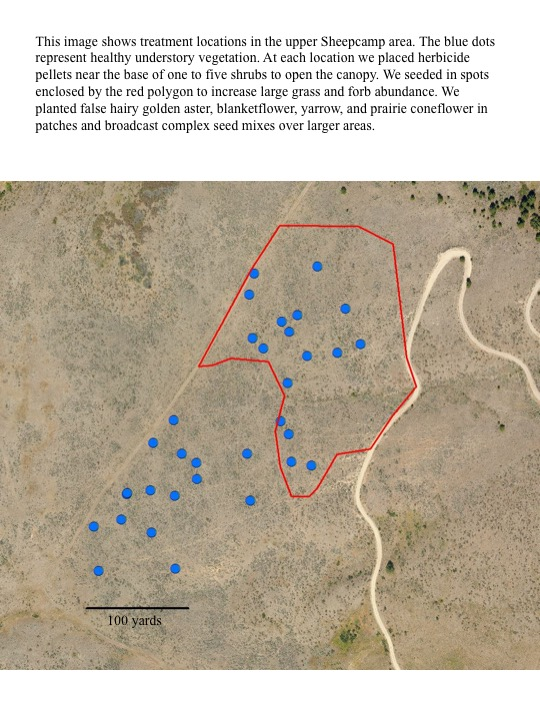 This image shows treatment locations in the upper Sheepcamp area. The blue dots represent healthy understory vegetation. At each location we placed herbicide pellets near the base of one to five shrubs to open the canopy. We seeded in spots enclosed by the red polygon to increase large grass and forb abundance. We planted false hairy golden aster, blanketflower, yarrow, and prairie coneflower in patches and broadcast complex seed mixes over larger areas.