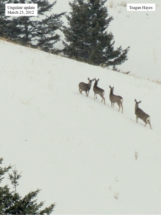 Whitetail deer in snow.