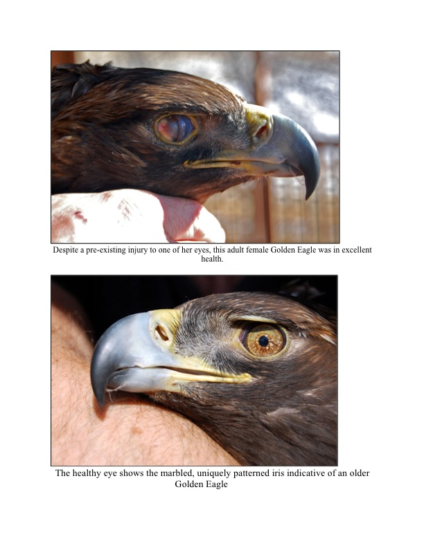 The healthy eye shows the marbled, uniquely patterned iris indicative of an older Golden Eagle