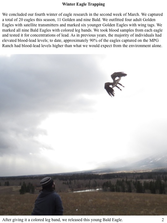 We concluded our fourth winter of eagle research in the second week of March. We captured a total of 20 eagles this season, 11 Golden and nine Bald. We outfitted four adult Golden Eagles with satellite transmitters and marked six younger Golden Eagles with wing tags.