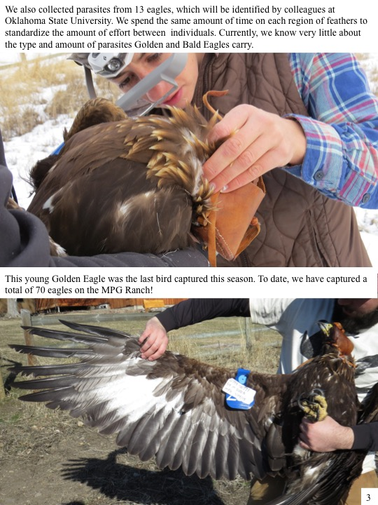 We also collected parasites from 13 eagles, which will be identified by colleagues at Oklahoma State University. We spend the same amount of time on each region of feathers to standardize the amount of effort between individuals. Currently, we know very little about the type and amount of parasites Golden and Bald Eagles carry.