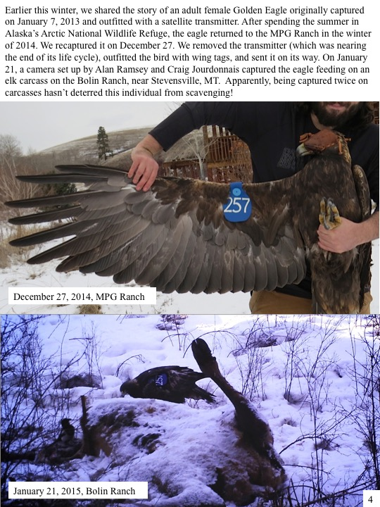 Earlier this winter, we shared the story of an adult female Golden Eagle originally captured on January 7, 2013 and outfitted with a satellite transmitter. After spending the summer in Alaska's Arctic National Wildlife Refuge, the eagle returned to the MPG Ranch in the winter of 2014. We recaptured it on December 27.