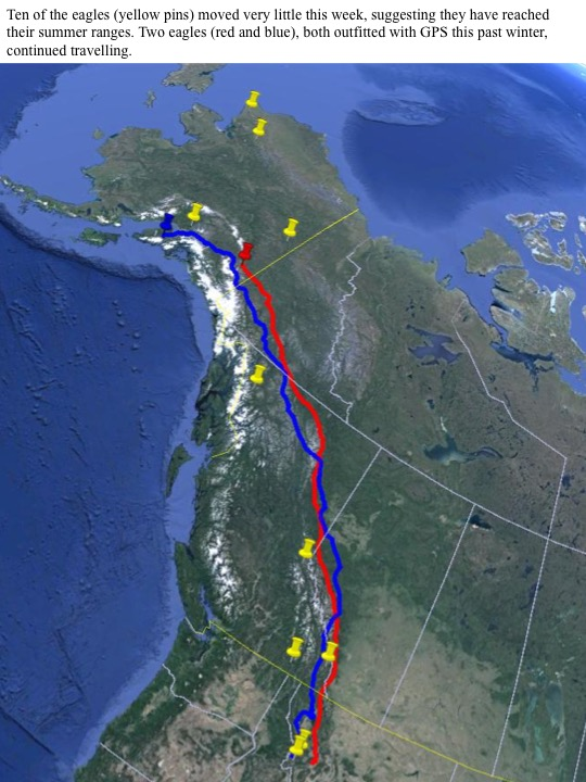 Ten of the eagles (yellow pins) moved very little this week, suggesting they have reached their summer ranges. Two eagles (red and blue), both outfitted with GPS this past winter, continued travelling.