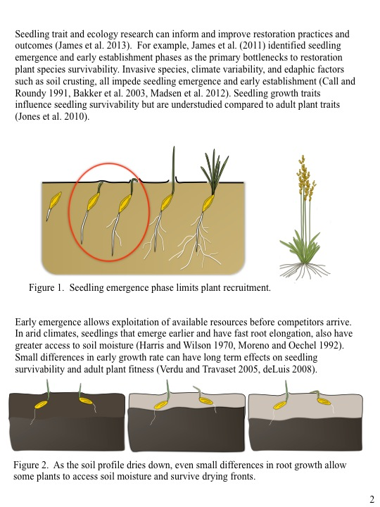 Seedling trait and ecology research can inform and improve restoration practices and outcomes (James et al. 2013). For example, James et al. (2011) identified seedling emergence and early establishment phases as the primary bottlenecks to restoration plant species survivability. Invasive species, climate variability, and edaphic factors such as soil crusting, all impede seedling emergence and early establishment (Call and Roundy 1991, Bakker et al. 2003, Madsen et al. 2012). Seedling growth traits influence seedling survivability but are understudied compared to adult plant traits (Jones et al. 2010).