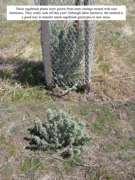 These sagebrush plants were grown from stem cuttings treated with root hormones. They really took off this year! Although labor intensive, the method is a good way to transfer ranch sagebrush genotypes to new areas.