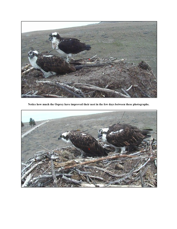 Notice how much the Osprey have improved their nest in the few days between these photographs.