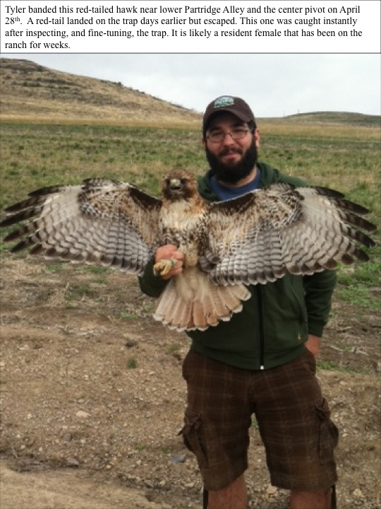 Red tailed hawk banded on 4/28/12