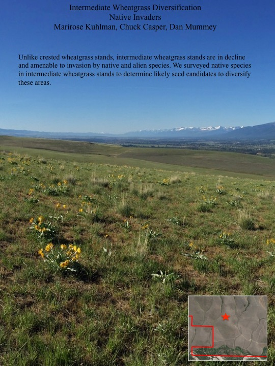 Unlike crested wheatgrass stands, intermediate wheatgrass stands are in decline and amenable to invasion by native and alien species. We surveyed native species in intermediate wheatgrass stands to determine likely seed candidates to diversify these areas.