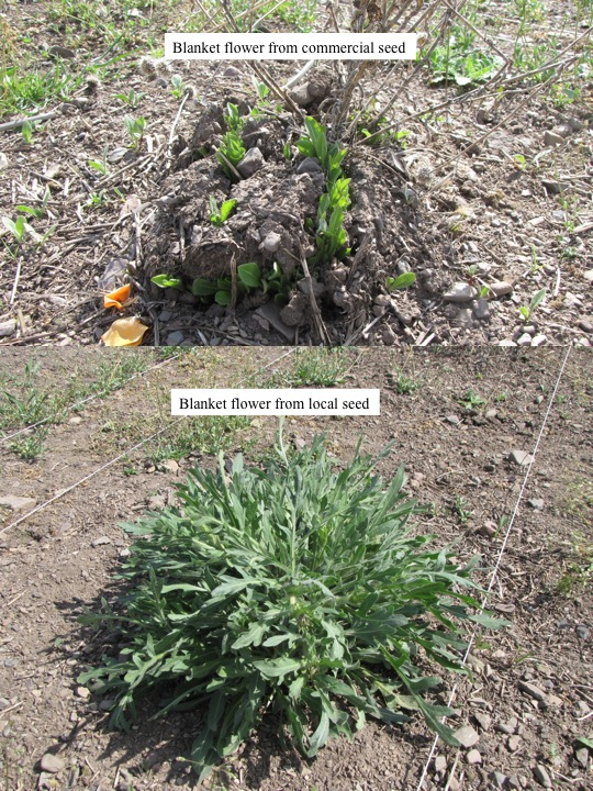 Commercial versus local blanketflower plants.