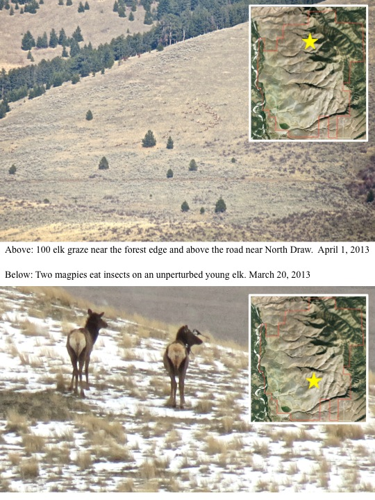 100 elk graze near the forest edge and above the road near North Draw. April 1, 2013 Below: Two magpies eat insects on an unperturbed young elk. March 20, 2013