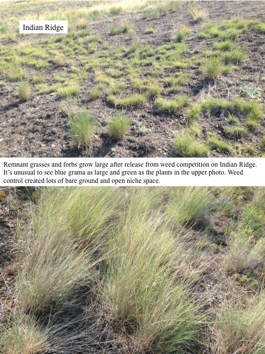Remnant grasses and forbs grow large after release from weed competition on Indian Ridge. It's unusual to see blue grama as large and green as the plants in the upper photo. Weed control created lots of bare ground and open niche space.