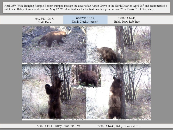 April 25th- Wide Ranging Rumple Bottom tramped through the cover of an Aspen Grove in the North Draw on April 25th and scent marked a rub tree in Baldy Draw a week later on May 1st. We identified her for the first time last year on June 7th at Davis Creek 3 (center).