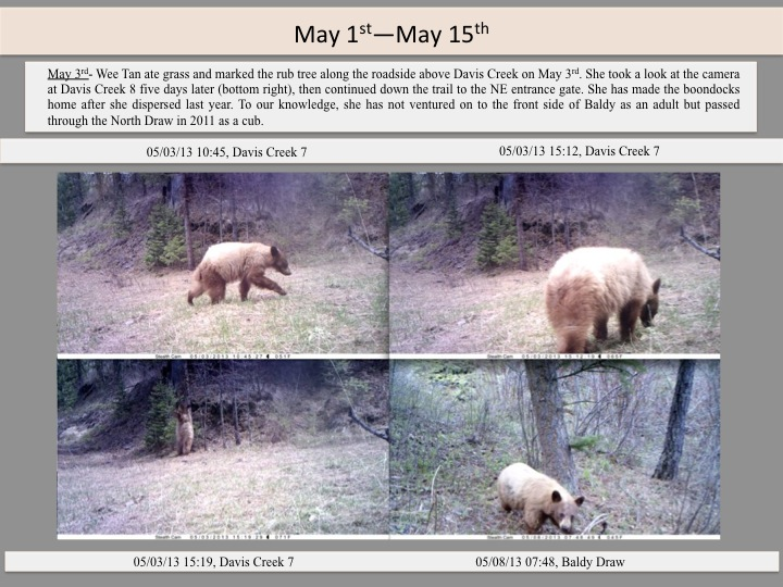 May 3rd- Wee Tan ate grass and marked the rub tree along the roadside above Davis Creek on May 3rd. She took a look at the camera at Davis Creek 8 five days later (bottom right), then continued down the trail to the NE entrance gate. She has made the boondocks home after she dispersed last year. To our knowledge, she has not ventured on to the front side of Baldy as an adult but passed through the North Draw in 2011 as a cub.