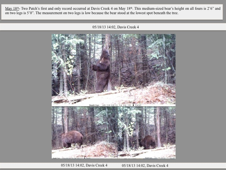 "May 18th- Two Patch's first and only record occurred at Davis Creek 4 on May 18th. This medium-sized bear's height on all fours is 2'6"" and on two legs is 5'0"". The measurement on two legs is low because the bear stood at the lowest spot beneath the tree."