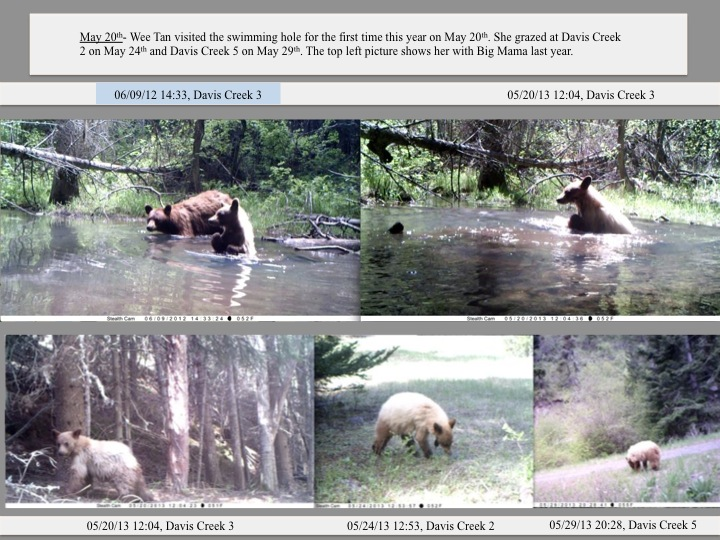 May 20th- Wee Tan visited the swimming hole for the first time this year on May 20th. She grazed at Davis Creek 2 on May 24th and Davis Creek 5 on May 29th. The top left picture shows her with Big Mama last year.