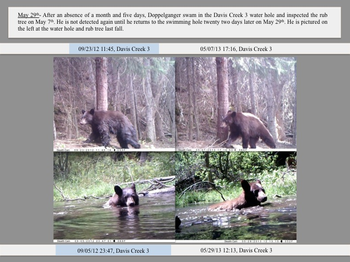 May 29th- After an absence of a month and five days, Doppelganger swam in the Davis Creek 3 water hole and inspected the rub tree on May 7th. He is not detected again until he returns to the swimming hole twenty two days later on May 29th. He is pictured on the left at the water hole and rub tree last fall.