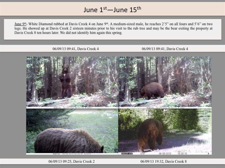 "June 9th- White Diamond rubbed at Davis Creek 4 on June 9th. A medium-sized male, he reaches 2'5"" on all fours and 5'6"" on two legs. He showed up at Davis Creek 2 sixteen minutes prior to his visit to the rub tree and may be the bear exiting the property at Davis Creek 8 ten hours later. We did not identify him again this spring."