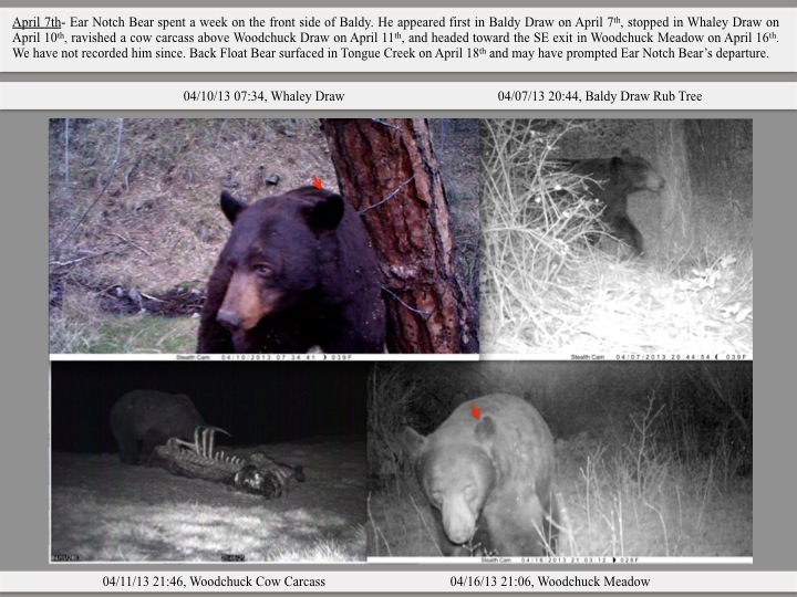 April 7th- Ear Notch Bear spent a week on the front side of Baldy. He appeared first in Baldy Draw on April 7th, stopped in Whaley Draw on April 10th, ravished a cow carcass above Woodchuck Draw on April 11th, and headed toward the SE exit in Woodchuck Meadow on April 16th. We have not recorded him since. Back Float Bear surfaced in Tongue Creek on April 18th and may have prompted Ear Notch Bear's departure.