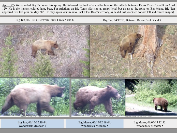 April 12th- We recorded Big Tan once this spring. He followed the trail of a smaller bear on the hillside between Davis Creek 5 and 8 on April 12th. He is the lightest-colored large bear. Fur striations on Big Tan's side stop at armpit level but go up to the spine on Big Mama. Big Tan appeared first last year on May 26th. He may again venture into Back Float Bear's territory, as he did last year (see bottom left and center images).