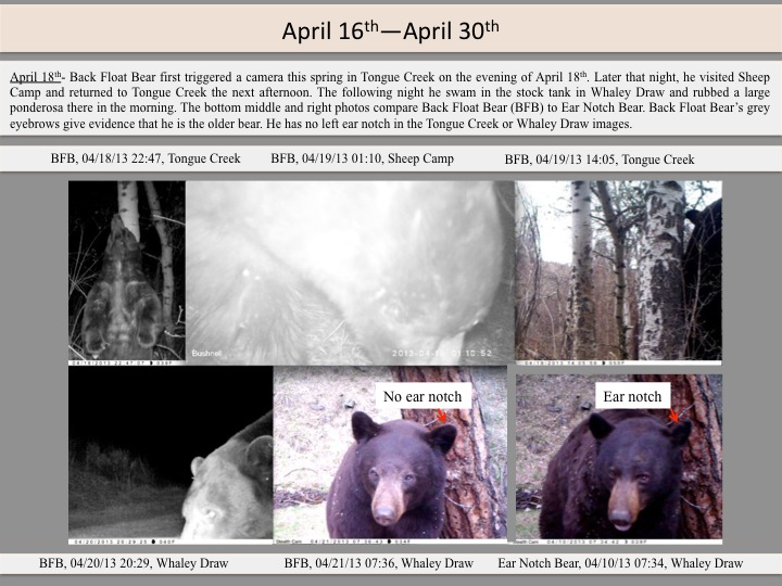 April 18th- Back Float Bear first triggered a camera this spring in Tongue Creek on the evening of April 18th. Later that night, he visited Sheep Camp and returned to Tongue Creek the next afternoon. The following night he swam in the stock tank in Whaley Draw and rubbed a large ponderosa there in the morning. The bottom middle and right photos compare Back Float Bear (BFB) to Ear Notch Bear. Back Float Bear's grey eyebrows give evidence that he is the older bear. He has no left ear notch in the Tongue Creek or Whaley Draw images.
