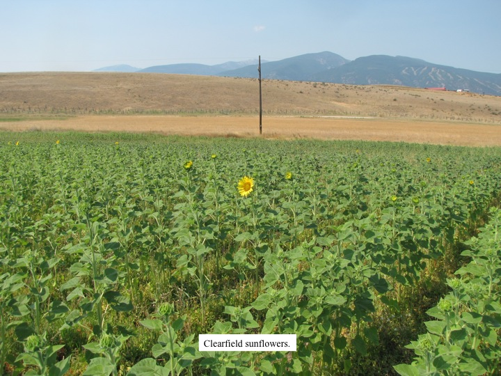 Clearfield sunflowers are in bloom.